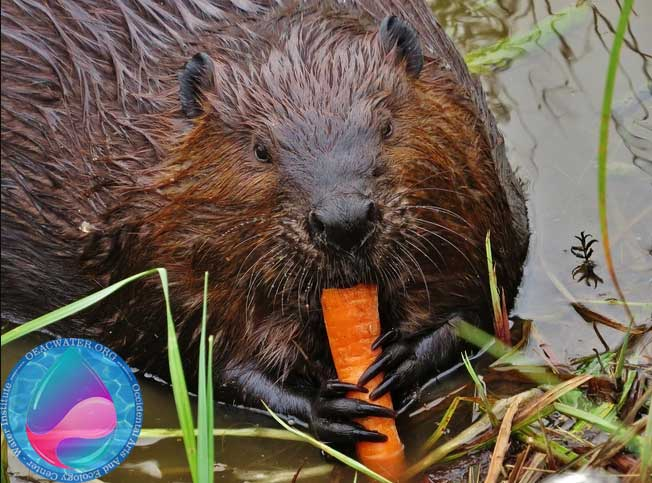 beaver eat carrot north bay